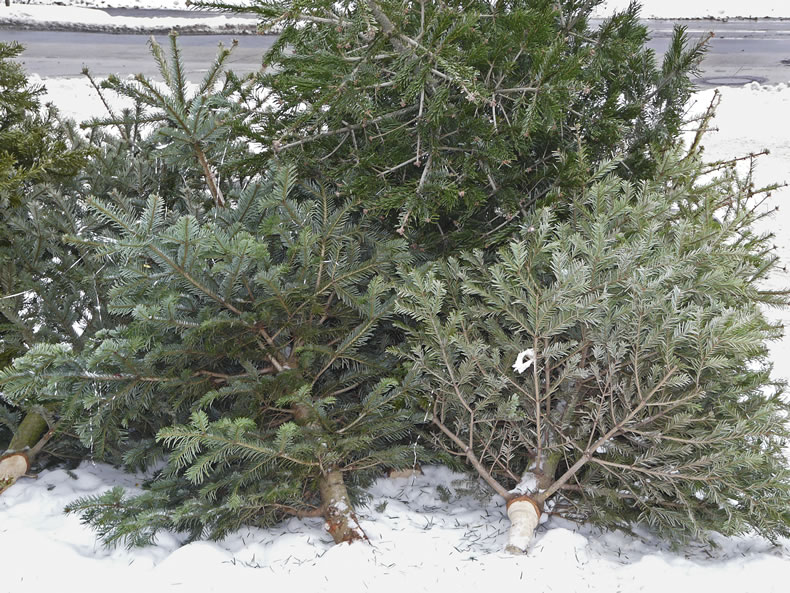 Christmas tree recycling pickup